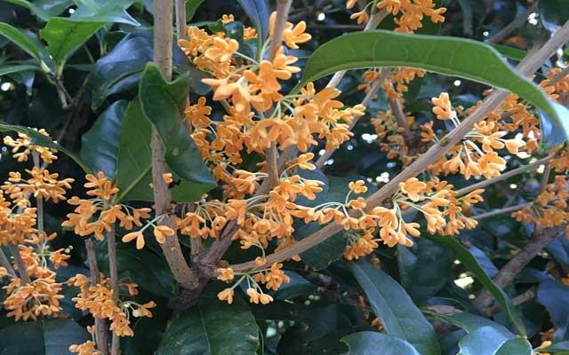 キンモクセイの花が咲く時期