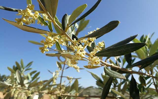 オリーブの花が咲く時期