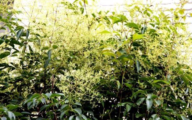 シマトネリコを植えて後悔?常緑樹も葉っぱが散って当たり前
