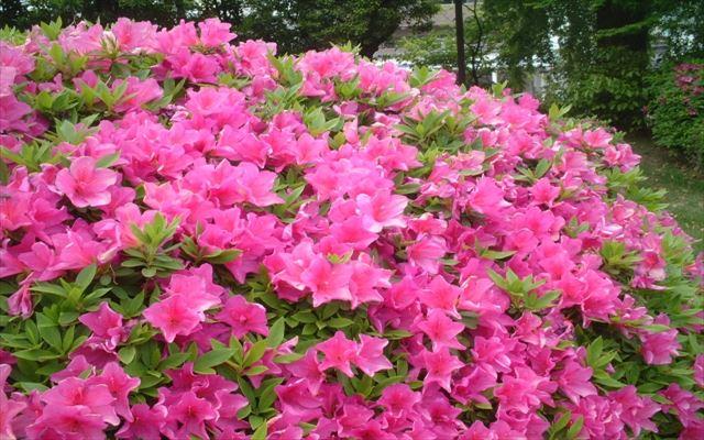 たくさんの花を咲かせるツツジ