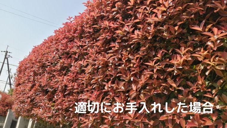 レッドロビンは真っ赤に染まる生垣が美しい