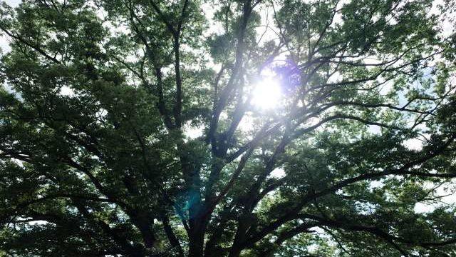 高木の伐採・大きくなったケヤキの伐採費用【相見積もり必須】
