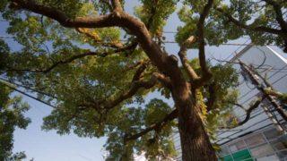 高木になったクスノキの伐採費用
