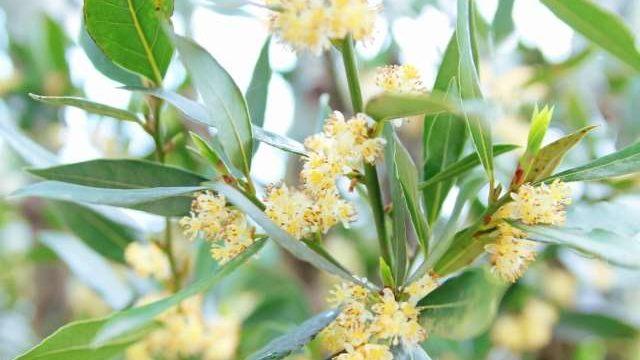 月桂樹を剪定する時期と方法・花が咲かないのはどうして?