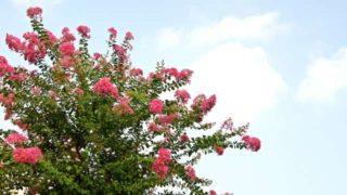 サルスベリを剪定する方法【花が咲かない理由は?】