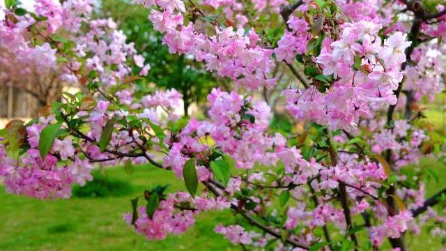 ハナカイドウの花が咲かない原因は?剪定方法と時期