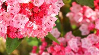 カルミアの花が咲かない原因は?剪定方法と時期はいつ頃?
