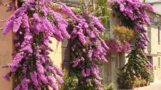 ブーゲンビリアの花が咲かない原因は?強剪定する方法や時期