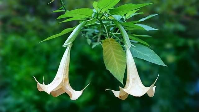 エンゼルトランペットを剪定する時期や方法・花が咲かない原因