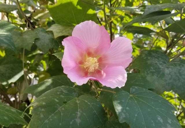 芙蓉(フヨウ)の花が咲かない原因