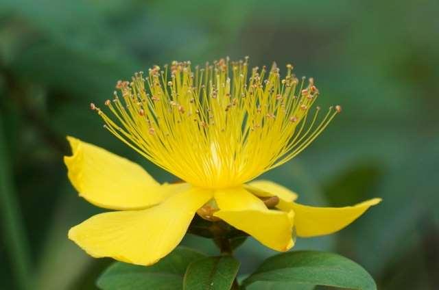 ヒペリカムの花が咲かない原因