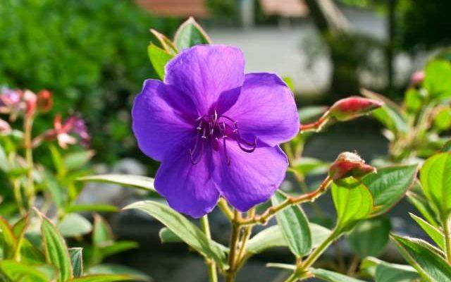シコンノボタンの花が咲かない原因は?剪定する方法や時期をチェック