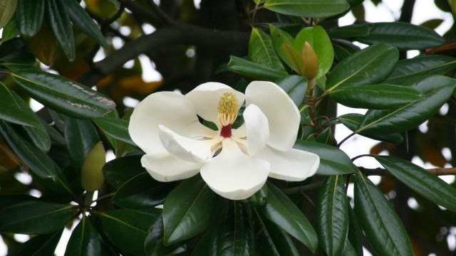 タイサンボクを強剪定で小さくして大丈夫?花が咲かない原因はなに?