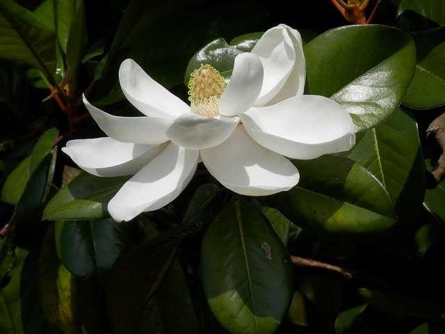 タイサンボクは木蓮の仲間