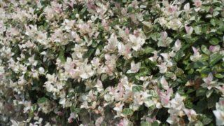 テイカカズラの花が咲かない原因は?強剪定しても大丈夫?