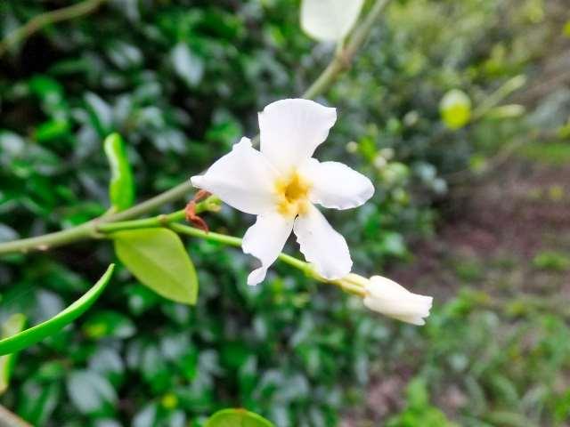 テイカカズラの花が咲かない原因