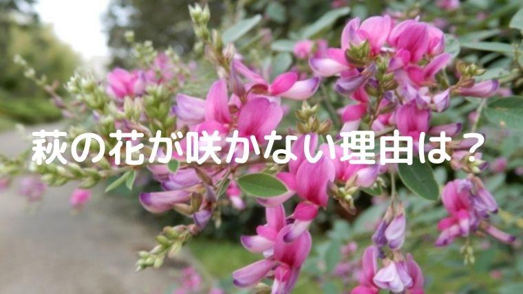 萩の花が咲かない理由は?
